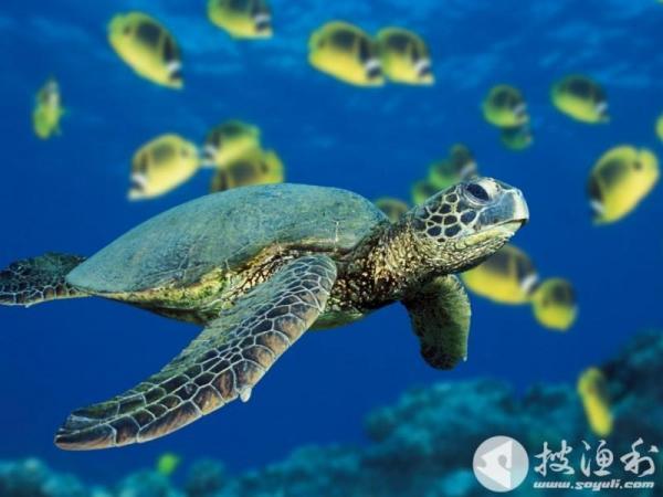 资料图 原标题:濒危海龟被海钓者抓获海口边防民警及时解救 7月28日下午,来自天津的李女士和丈夫到海口新海村海边垂钓,意外抓获一只绿海龟。他们打算将绿海龟带回家当宠物家养,随后被海口边防支队新海边防派出所民警及时赶到查扣下来,后移交给海口市野生动物保护协会。 据了解,该海龟体长约60厘米,重十多斤。李女士和丈夫打算将其带回家当宠物养。就在这时,新海边防派出所民警闻讯赶到,并将海龟急救下来。边防民警第一时间与海口市野生动物保护协会取得联系。海口市野生动物保护协会有关专家介绍,该绿海龟名为绿蠵龟,被列入《世界