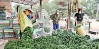 图为澄迈县黄竹村辣椒收购点正在收购村民的辣椒。 - 中新网海南频道