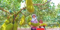 海南农垦南金农场公司波罗蜜标准化种植园:种植喜丰收 - 海南新闻中心